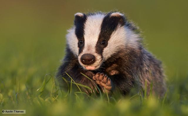 european_badger_1